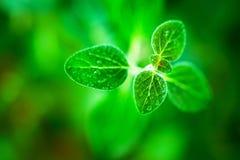 Fresh  oregano herb Stock Photo