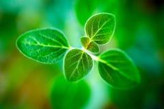 Fresh  oregano herb Royalty Free Stock Images
