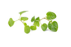 Fresh Oregano herb on white background. Fresh Oregano herb on white background stock images