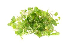 Fresh Oregano herb on a white background Stock Photo