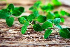 Fresh  oregano herb Stock Photography