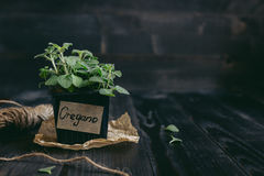 Fresh oregano in pot on the wooden background with copy space.  royalty free stock photography