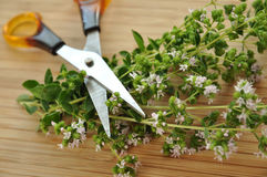 Fresh Oregano and Scissors Royalty Free Stock Images