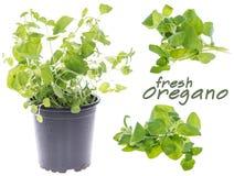 Fresh Oregano (Set) Royalty Free Stock Image