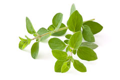 Fresh oregano. Stock Photography