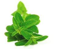 Fresh oregano on white background Stock Images