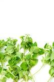 Fresh Oregano Stock Images