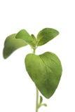 Fresh oregano on white background Stock Photography