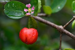 Fresh organic Acerola Cherry Fruits on tree with flower and water drops stock photos