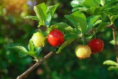 Free Fresh Organic Acerola Cherry.Thai Or Acerola Cherries Fruit On The Tree, High Vitamin C And Antioxidant Fruits Royalty Free Stock Image - 191199406