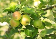 Fresh organic apple Stock Photography