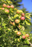 Fresh organic apple Royalty Free Stock Photo