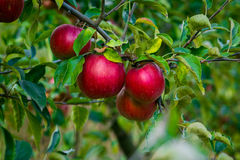 Fresh Organic Apples,apple orchard,Apple garden full of riped re. D apples,apples for juice,Organic red apples hanging on a tree branch,apple trees in a row Stock Photo