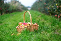 Fresh organic apples in a basket Stock Photo