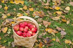 Fresh and organic apples in basket, selective focus,apple harve royalty free stock photo