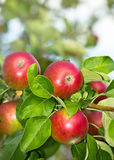 Fresh organic apples in the garden Royalty Free Stock Images