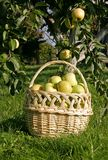 Basket with apples in the orcard Royalty Free Stock Image