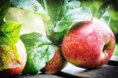 Fresh organic apples Royalty Free Stock Photo