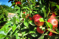 Fresh organic apples Stock Photography