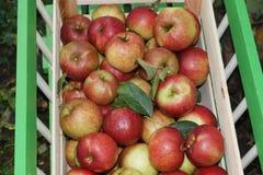 Fresh Organic Apples Stock Photo