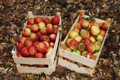 Fresh Organic Apples Stock Image