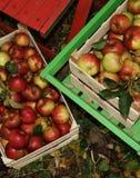 Fresh Organic Apples Royalty Free Stock Image