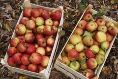 Fresh Organic Apples Royalty Free Stock Photo