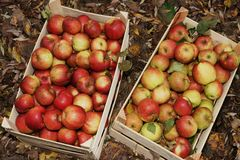 Fresh Organic Apples Stock Images