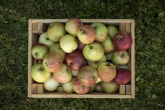 Fresh organic apples are in wooden crate on harvest day stock image