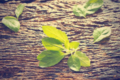 Fresh organic basil leaves on rustic wooden background Stock Photo