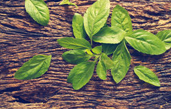 Fresh organic basil leaves in wooden bowl on rustic wooden backgrond Royalty Free Stock Images