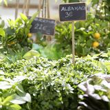 Fresh organic basil (Ocimum basilicum) Stock Photography