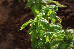 Fresh organic basil plant grows up in garden Royalty Free Stock Image