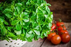 Fresh organic basil in white colander with cherry tomatoes Royalty Free Stock Photo