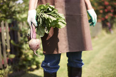 Fresh and organic beetroot Stock Images