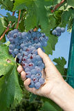 A fresh organic black grape in the  vineyard Royalty Free Stock Images