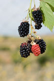 Fresh organic blackberries Royalty Free Stock Photography