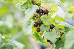 Fresh organic blackcurrant on bush Stock Image