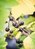 Fresh organic blackcurrents Stock Photos