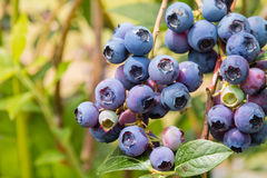 Fresh organic blueberries on blueberry bush Royalty Free Stock Photography