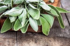 Fresh organic bundle of sage closeup Royalty Free Stock Images