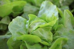 Fresh organic Butterhead Lettuce on the Field stock photography