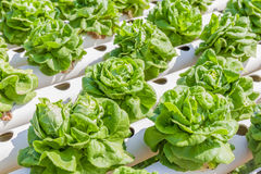 Fresh organic butterhead lettuce vegetable in outdoor hydroponic Stock Photos