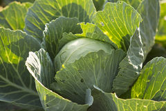 Fresh organic cabbage close up Royalty Free Stock Images