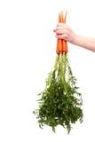 Fresh organic carrot. Bunch of fresh organic carrots Stock Photography