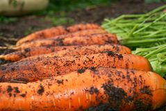 Fresh organic carrot Royalty Free Stock Photo