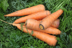 Fresh organic carrots Royalty Free Stock Images