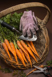 Fresh Organic Carrots Royalty Free Stock Images