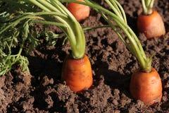 Fresh organic carrots in the garden Stock Photos