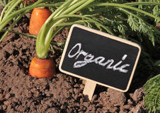 Fresh organic carrots in the garden Royalty Free Stock Photo